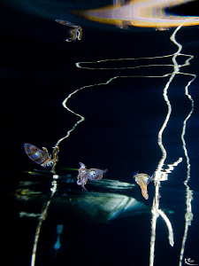 """Squid Reflections"" A few juvenile squids ( the middle on... by Rico Besserdich"